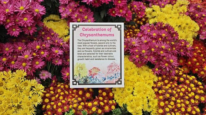 "[EXPLORE SG] ""Celebration of Chrysanthemums"" GARDEN TRAIL 2015"